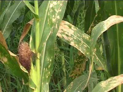 玉米红蜘蛛的防治