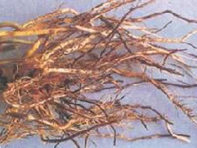 玉米全蚀病的防治