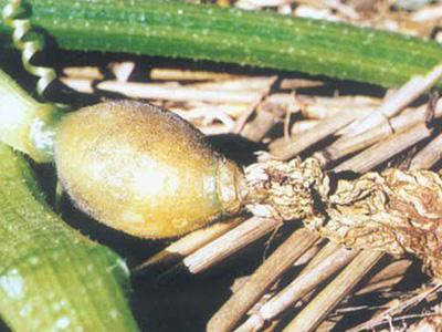 南瓜花腐病的防治