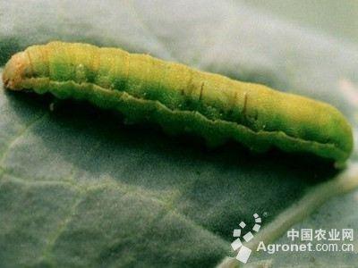 玉米叶夜蛾的防治