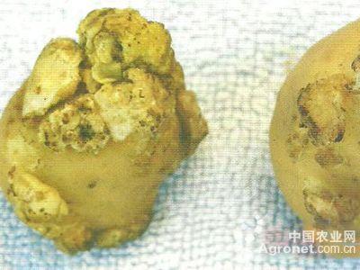 茄子细菌性枯萎病的防治