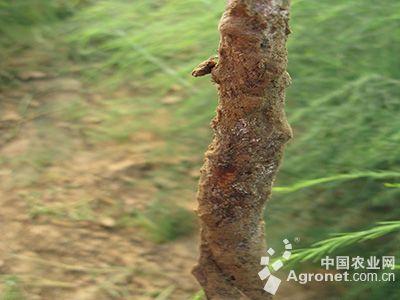 花椰菜菜蚜