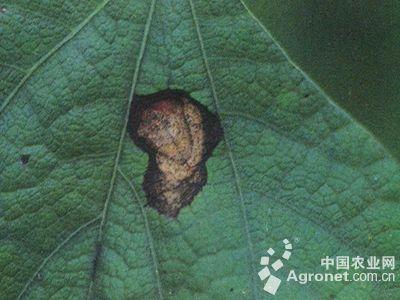 扁豆淡褐斑病的防治