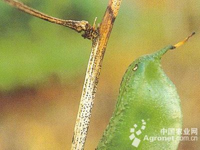 扁豆茎枯病的防治