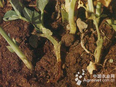 豌豆基腐病的防治