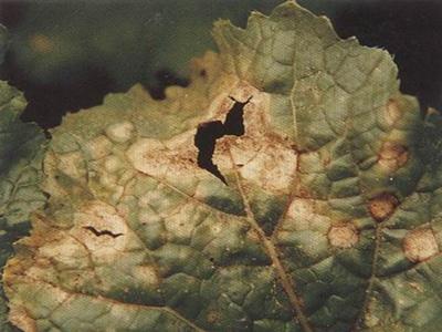薹菜黑斑病的防治