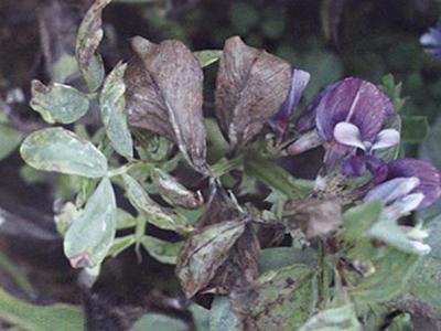 蚕豆枯萎病的防治