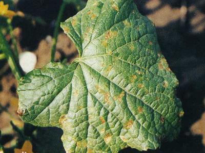 甜瓜细菌性角斑病的防治