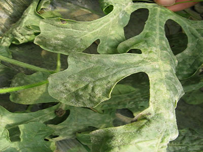 西瓜缺素症的防治