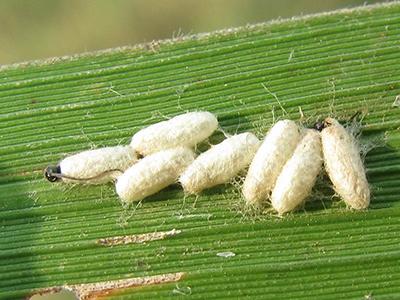 玉米螟虫和大螟的防治
