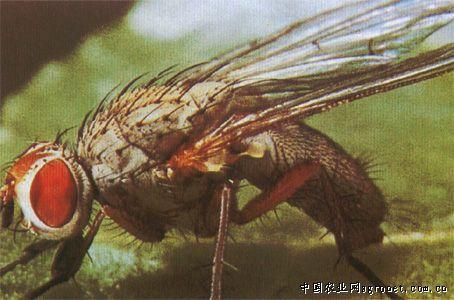 潜叶蝇的防治