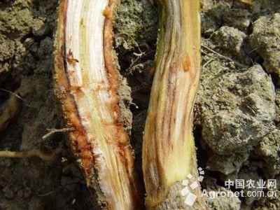 黄瓜根腐病的防治