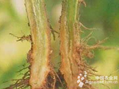 黄瓜镰刀菌枯萎病的防治