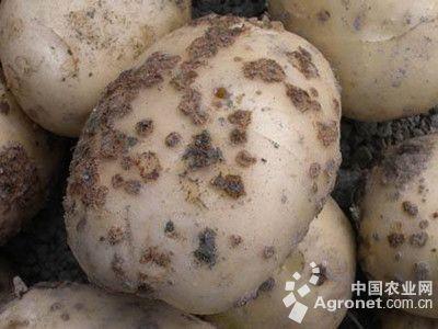 马铃薯疮痂病的防治