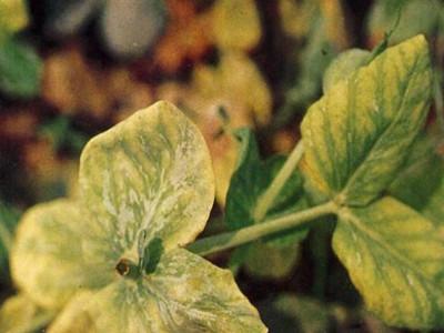 莴苣黄萎病的防治