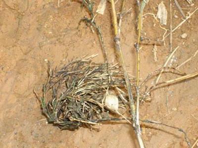竹笋竹丛枝病的防治