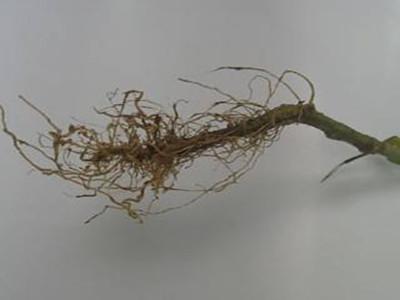 西葫芦根结线虫病的防治