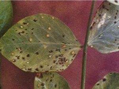 豌豆锈病的防治