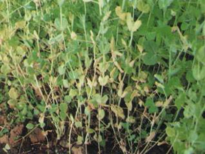 豌豆萎凋病的防治