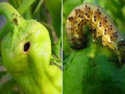 辣椒烟青虫的防治