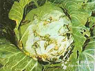 甘蓝叶疱疹病的防治