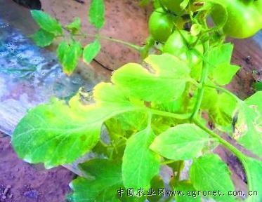 番茄晚疫病及叶霉病