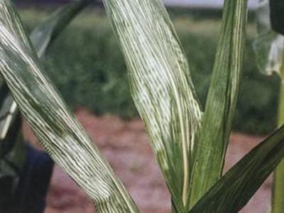 玉米霜霉病的防治