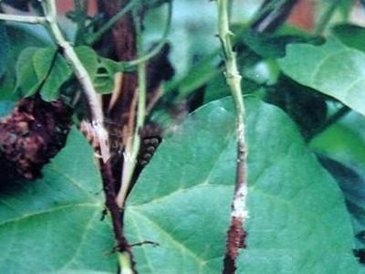 菜豆白绢病的防治