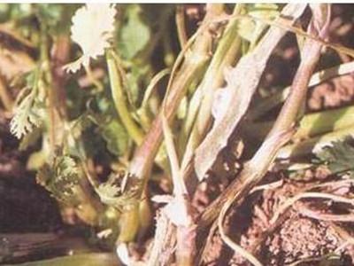 香菜菌核病的防治